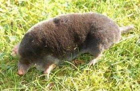 Mole Taupe